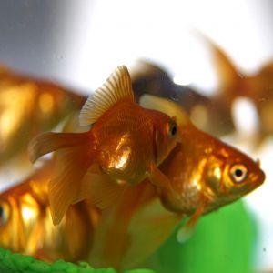 Goldfische im gartenteich haus und garten gestaltung for Gartenteich goldfische